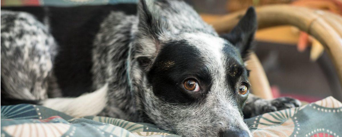 hundemagazin.info-beitrag-fellfarben-bei-hund