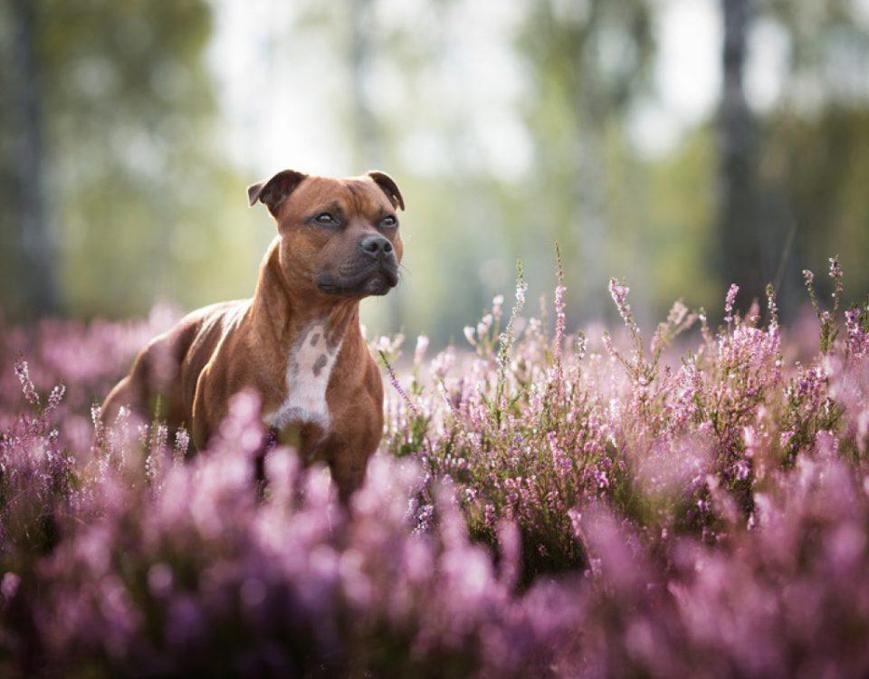 hundemagazin.info-beitrag-ist-eine-hundehaftpflichtversicherung-fuer-einen-kampfhund-pflicht