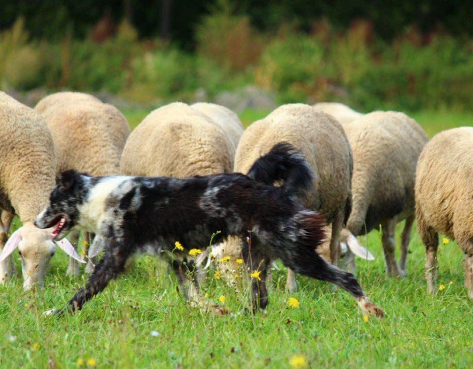 Hundesportart Leistungshüten