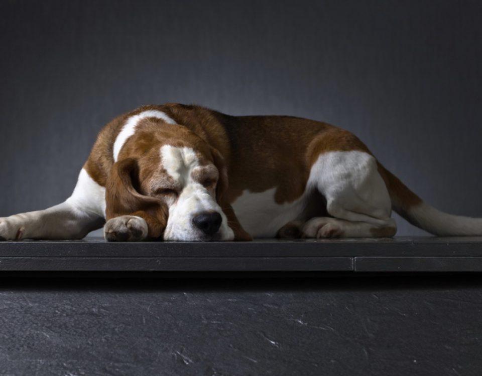 Seniorenfutter für Hunde