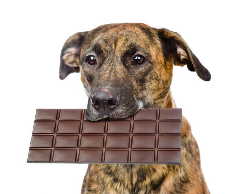 Theobrominvergiftung, Schokoladenvergiftung bei Hunden