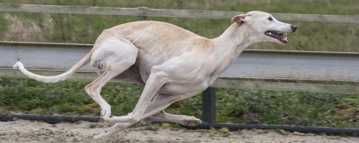 Coursing - die Sportart für Windhunde