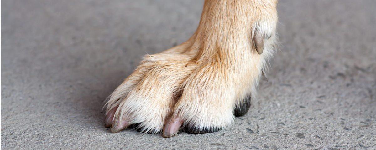 Wolfskralle bei Hunden