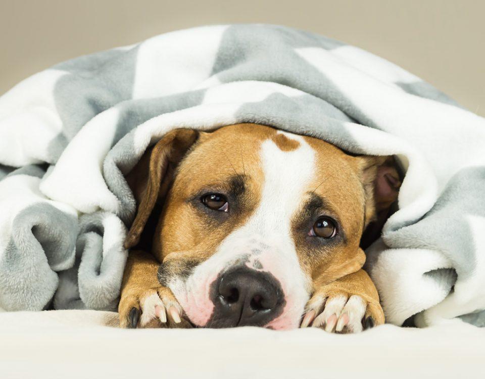 Wann hat ein Hund Fieber?