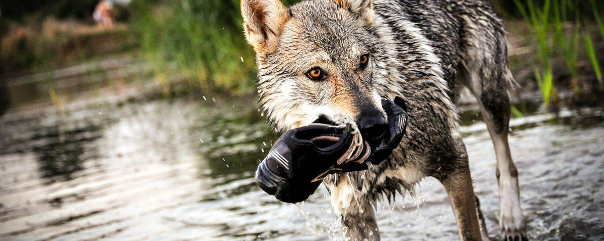 Rasse: Tschechoslowakische Wolfshund