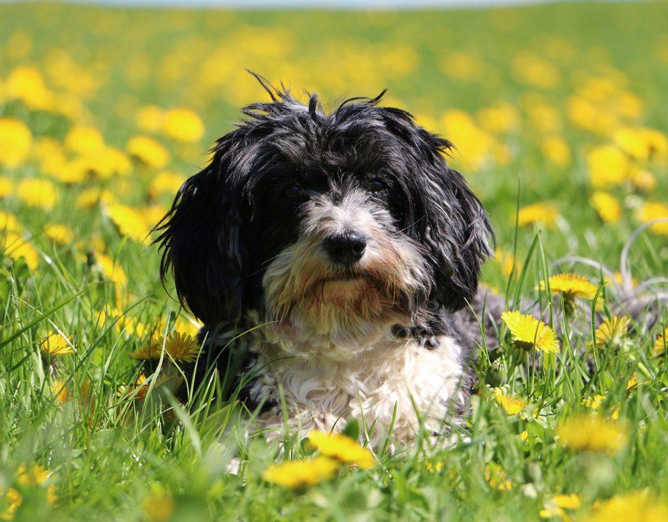 Welcher Hund braucht wenig Auslauf?
