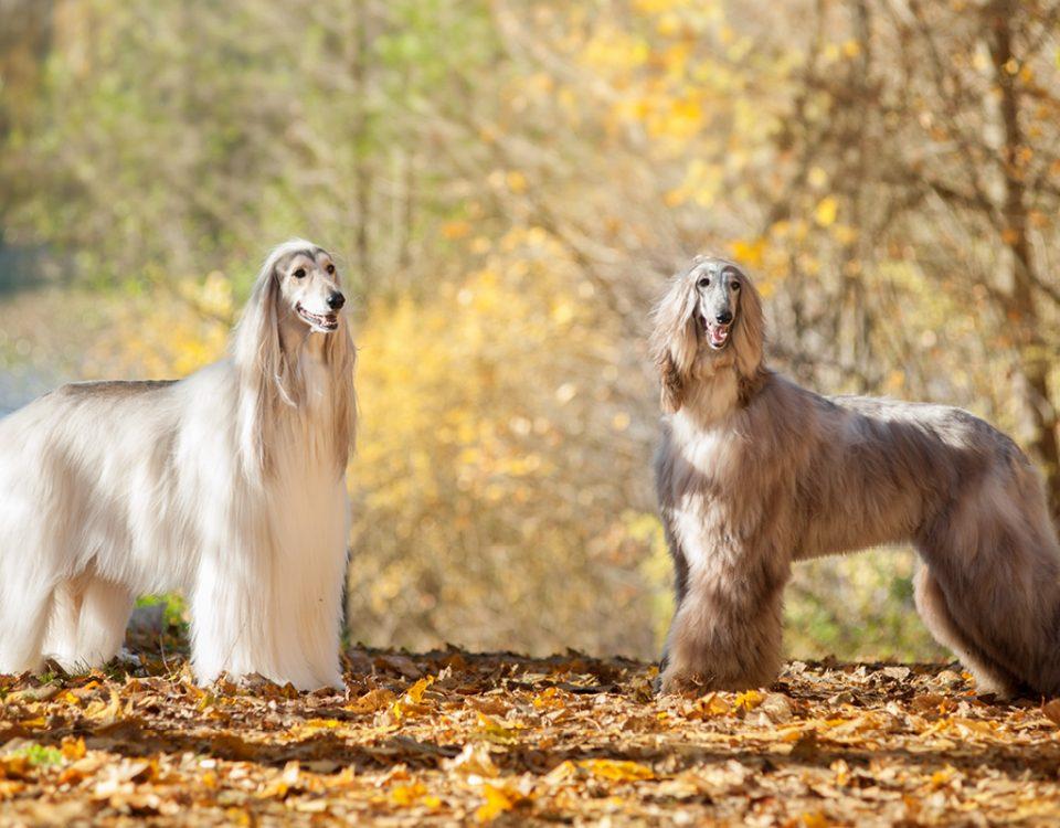 Afghanischen Windhund