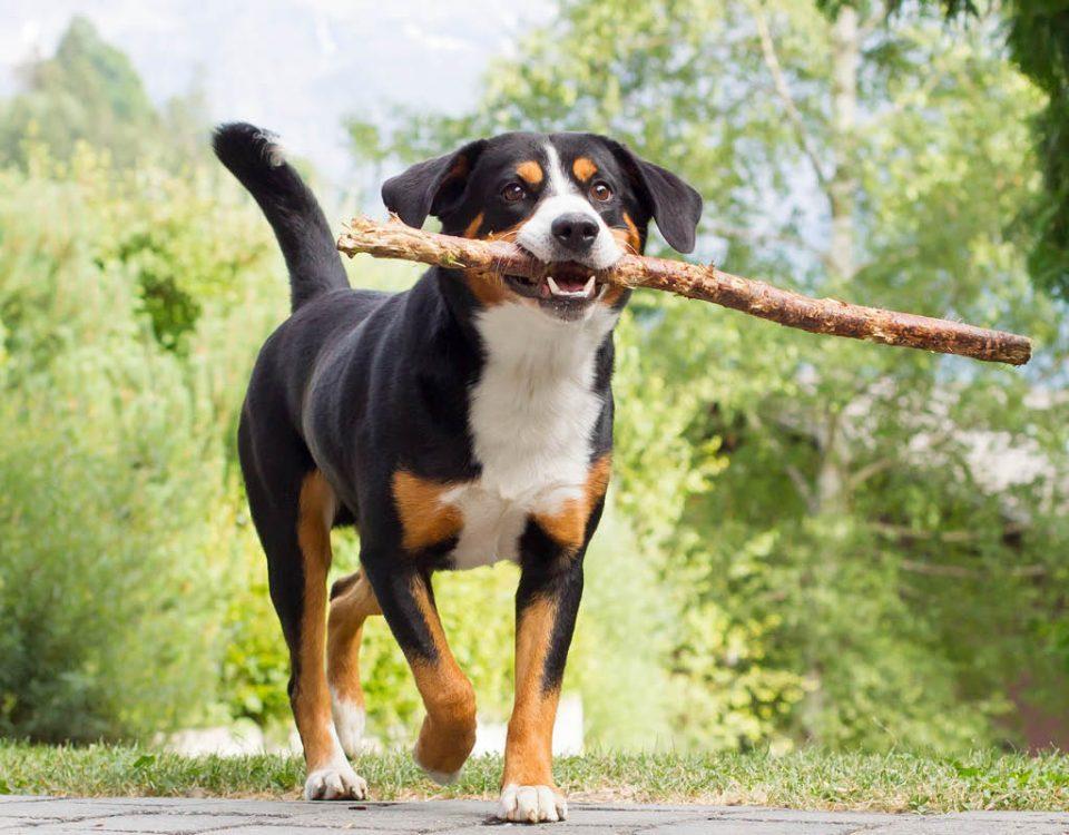 Appenzeller Sennenhund - Hunderasse