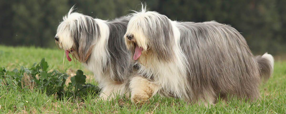 Bearded Collie - Hunderasse