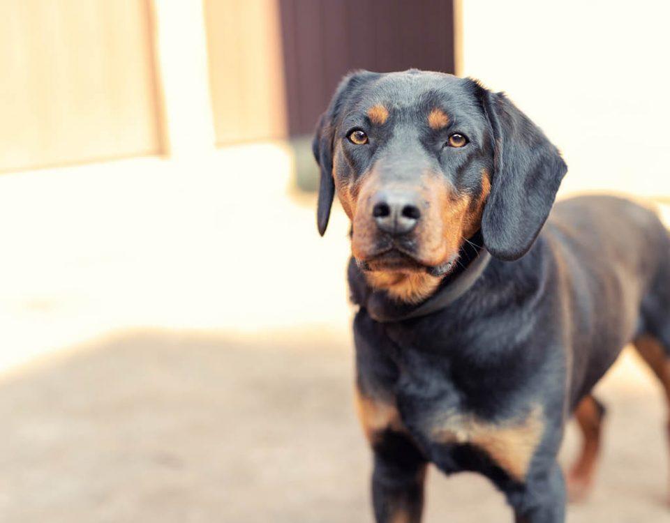 Deutscher Jagdterrier - Hunderasse