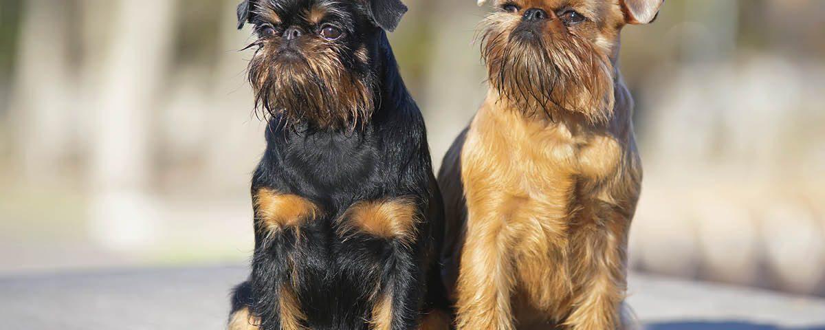 Griffon Belge - Hunderasse