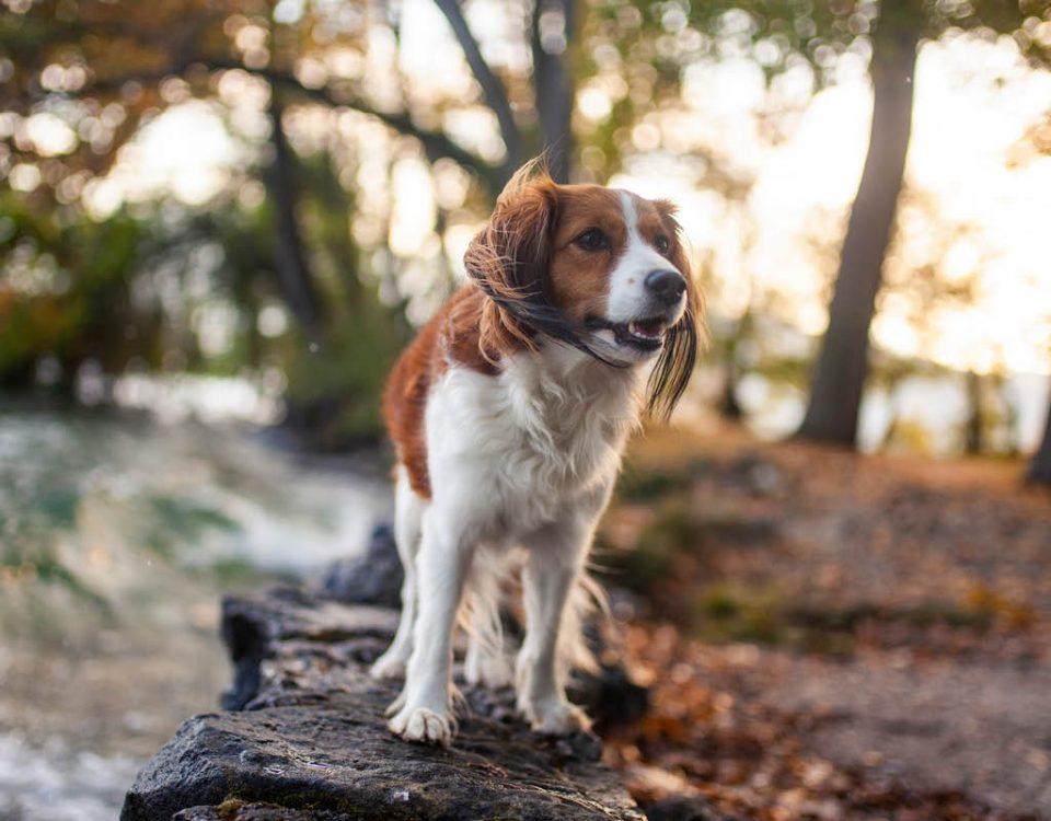 Kooikerhondje - Hunderasse
