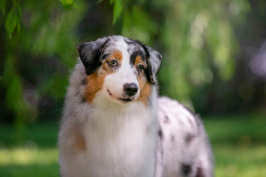 Klein Und Mittelpudel Hundemagazin Info