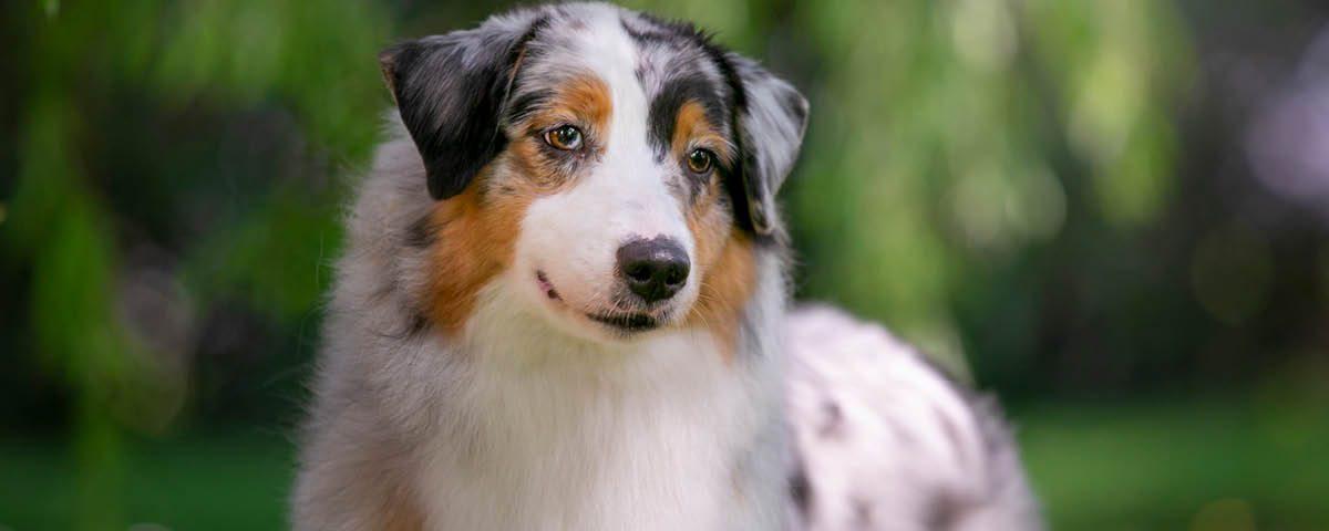 Australien Shepherd Dog - Hunderasse