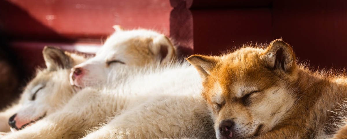 Grönlandhund - Hunderasse