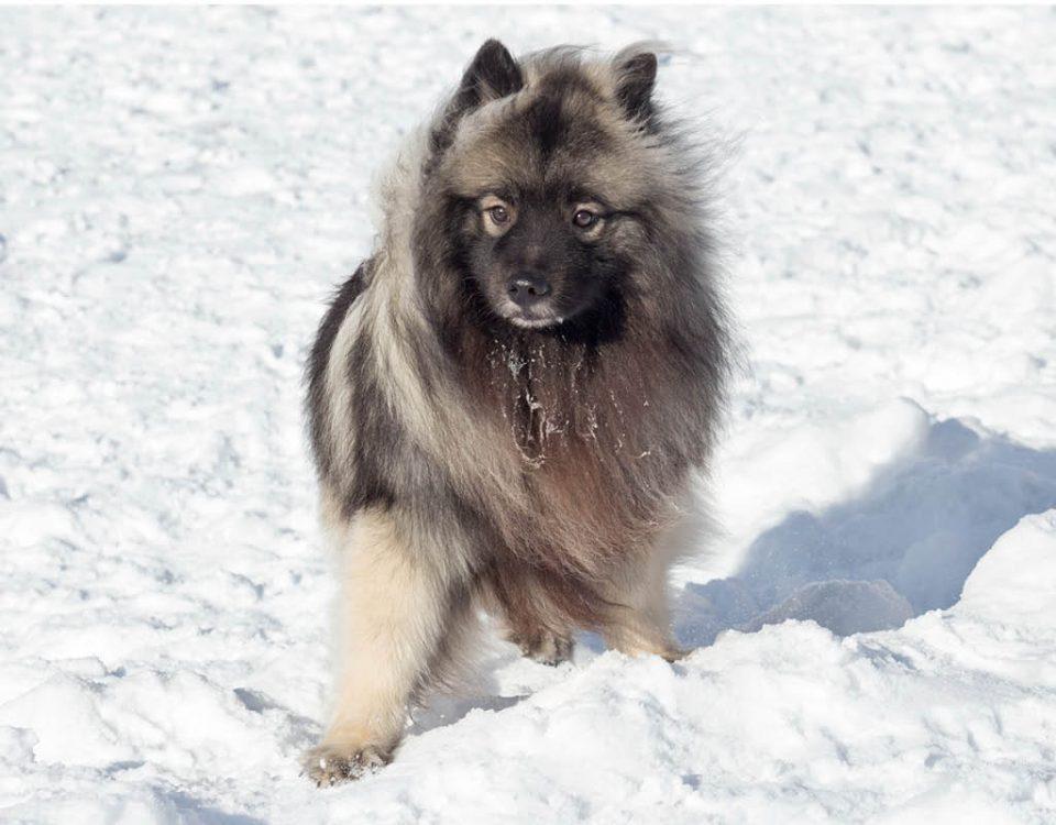 Wolfspitz - Hunderasse